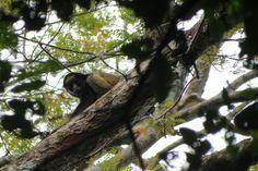 Macaco quatá espia o grupo do alto do tronco. Foto: Moreno Saraiva Martins/ISA. Leia o diário de viagem completo e veja outras imagens da Expedição Rio dos Veados > isa.to/1ag7MYF