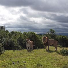 Simba en Nala op hun oudere dag kuieren gezellig naast ons #lion #game #wildlife #rawr #thelionkinginreallife #simba #kingofthejungle #topdag #southafrica #addoelephantnationalpark by lotte_philipsen