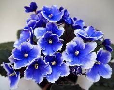 Saintpaulia, African Violet, Parma, Blue Flowers, Cool Photos, Gardening, Wreaths, Nature, Plants