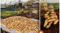 Jedna rada pre bohatú úrodu veľkých zemiakov a pokoj od nenávidenej pásavky zemiakovej: Skúste to tento rok aj vy, budete nadšení! Garden Inspiration, Vegetable Garden, Gardening Tips, Dog Food Recipes, How To Make Money, Stuffed Mushrooms, Beans, Pergola, Fruit