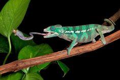 Kameleontilla on superkieli