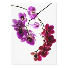 Customizable #Beauty #Copy#Space #Flower #Magenta #Nobody #Pink #Plants #Purple #Studio#Shot #White#Background Phalaenopsis orchids 4 canvas print available WorldWide on http://bit.ly/2hBcJpu