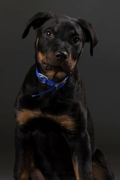 Some Helpful Ideas For Training Your Dog. Loving your dog does not mean you are willing to let him go hog wild on your possessions. That said, your dog doesn't feel the same way. Smartest Dog Breeds, Dog Breeds List, I Love Dogs, Cute Dogs, Awesome Dogs, Rottweiler Breed, Big Teddy Bear, Best Dog Training, Dog Hacks