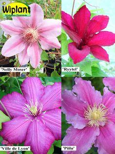 Storblommig clematis, röda, rosa, violetta sorter.