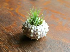 Sputnik Sea Urchin Ionantha Air Plant Kit from Air Plant Design Studio