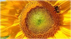 Bumblebee on sunflower near Viechtach Bavarian Forest Bavaria Germany