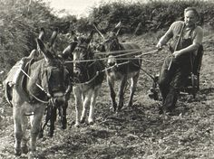 âne agricole