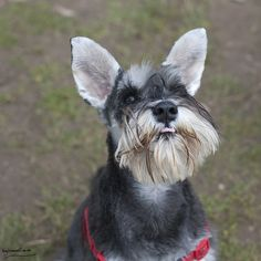 Monkey by BigBlueWolf Photography #Miniature #Schnauzer