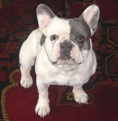 Blue Pied Frenchie