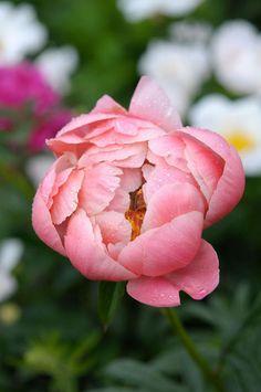 'Coral Charm' -jalopioni Perennials, Bloom, Coral, Rose, Garden, Flowers, Plants, Pink, Garten