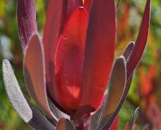 Safari Sunset - Leucadendron - Proteas and Leucadendrons - Flowers by category | Sierra Flower Finder