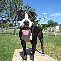 Van Wert, Ohio - Pit Bull Terrier. Meet Dice, a for adoption. https://www.adoptapet.com/pet/21344543-van-wert-ohio-pit-bull-terrier