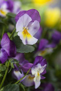 Viola er vakkert sammen med fargerik vårlyng.