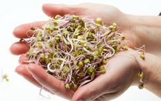 Broccoli is an established anti-cancer superfood, but researchers found that broccoli sprouts offers up to the cancer protection as full grown broccoli. Foods That Cure Cancer, Cancer Fighting Foods, Cancer Cure, Lung Cancer, Healthy Smoothies, Smoothie Recipes, Healthy Eats, Healthy Foods, Broccoli Sprouts