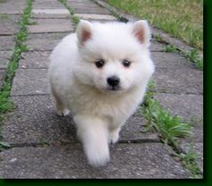 Japanese spitz puppy - its so fluffy, I could die!