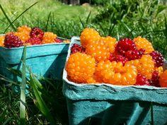 Salmon berries #salmonberries #snoqualimevalley