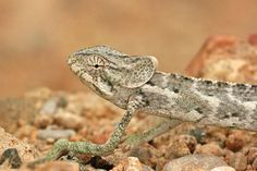 Chamaeleo monachus is one of 21 reptiles endemic to Socotra.