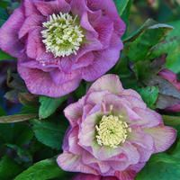 Helleborus 'double roses'