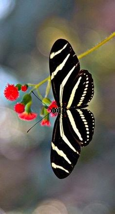 Amazing Butterflies Zebra Longwing - Heliconius charithonia