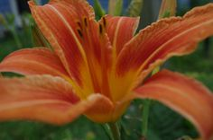 daylily- this is a must!  they do so well in our area.