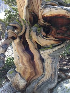 Bristlecone Pine Oldest Tree Species in the World landscape Nature Photos Weird Trees, Bristlecone Pine, Twisted Tree, Giant Tree, Art Brut, Unique Trees, Old Trees, Tree Forest, Dead Forest