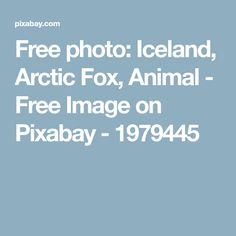 Free photo: Iceland, Arctic Fox, Animal - Free Image on Pixabay - 1979445