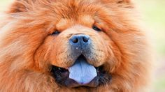 The only dog that doesn't have a pink tongue is the chow (a dog breed originally from northern China).