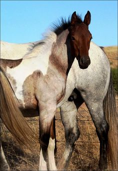 Little Feather - 2011 Bay Roan Tobiano Sport Filly