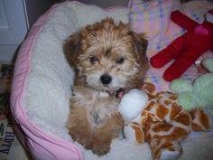 My baby yorkie poo!