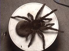 "The Is A REAL Spider, The Size Of A 16"" inner Plate. Named Promptly, The Goliath.... SCARY."