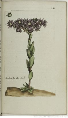 SEMPERVIVUM - Sempervivum tectorum. La joubarbe des toits / La grande joubarbe / La jonbarbe / La joubarbe des Maréchaux / L'artichaut sauvage