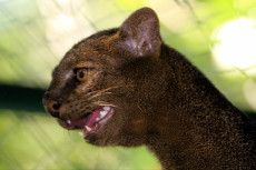 Thanks to its flexible, muscular and elongated body, jaguarundi can easily bypass even the most impenetrable thorny thickets and land to move quickly among the thick grass. The average lengt Small Wild Cats, Big Cats, African Wild Cat, Rusty Spotted Cat, Wild Cat Species, Black Footed Cat, Cat Flats, Sand Cat, Leopard Cat