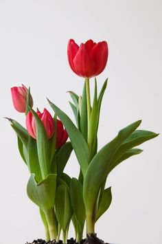 Red Tulips by Mig Jetay on