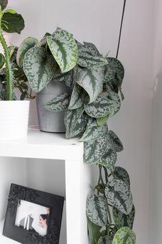 House Plants Decor, Plant Decor, Planting Succulents, Planting Flowers, Pathos Plant, Common Garden Plants, Nerve Plant, Silver Plant, Little Plants
