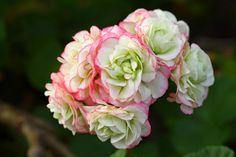 Pelargonium 'Appleblossom Rosebud'