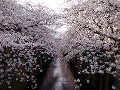 SAKURA Tunnel.