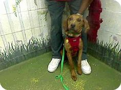"""#GEORGIA #URGENT ~ ID A453234 is #adoptable in #Atlanta. He says they've got me listed as a """"Collie"""" - but I'm a Plott Hound if ever there was one. I'm a good dog & need to run to ground a loving home QUICK! Can you help me ? I'm at FULTON COUNTY ANIMAL CONTROL    860 Marietta Blvd NW    #Atlanta Georgia 30318     ac.info@fultoncountyga.gov   adoptions@fultoncountyga.gov  Ph 404-613-0357"""