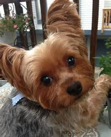 Image result for Short Haircut Yorkie Yorkshire Terrier