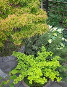 Love this combination of Japanese Maple, Gingko, Fern and Hosta.