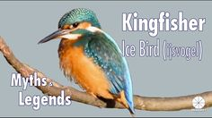 """The Kingfisher or """"Ice Bird"""" as the Dutch call them Ijsvogel has many #myths and #legends about them. Although they do not directly appeared named in the Bible they are in many other cultures highly praised.   In the Netherlands for instance the Ice bird or kingfisher is seen as - """"In the Dutch culture we find the kingfisher as a symbol of the perseverance and confidence in a good outcome despite adversity. and - even the Dutch royal family admires this small but amazing bird """"The colors of…"""