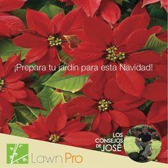 Utiliza las pascuas para tu oficina o residencia para ambientar espacios vacios. La flor tiene colores vivos que le darán a tu casa o negocio ese toque navideño y festivo. #LawnPro