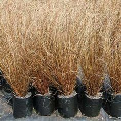 Image result for new zealand grasses and flax