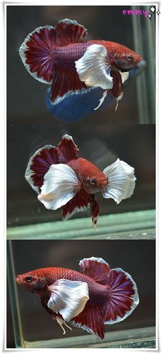 fwbettashmp1451222403 - Lavender Dumbo HM PK M# M780