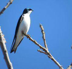 Bird Photos, Birding Sites, Bird Information: TREE SWALLOW, COLONEL SAMUEL SMITH PARK, TORONTO, ...