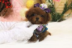 ♥Teacup Poodle♥Toy Poodle♥Pocket Poodle♥  Date of Birth:2013/11/30 Color:Red Gender:Male Size:Pocket Teacup Poodle Estimated Adult Weight:1kg(2.2lb) Vaccination:2 (International Delivery Available) Price: please contact for price quotes  YouLong Poodle Breeding Center http://52993344.com/en/  Poodleholics Please Contact Us: Cell: +886-975785398 Line ID : teddymommy75 Whatsapp : +886975785398 QQ: 603042543 SKYPE: teddy52999 Email: a5299.a3344@msa.hinet.net