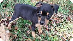Chihuahua Mix Puppy for adoption in New York, New York - ZoraI'm being cared for by: Waggytail Rescue
