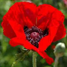 www.rustica.fr - Choisir sa variété de pavot d'Orient - Beauty of Livermere