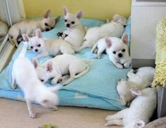 One Chihuahua is never enough.