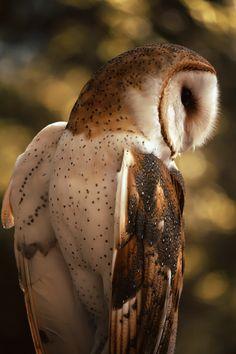 Russet barn owl named Emily • photo: Dragonap on deviantart
