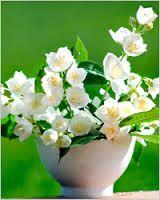 Картинки по запросу жасмин цветок